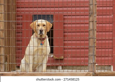 Yellow Lab staring out through the wire of his kennel.