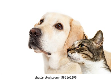 Yellow Labrador dog and cat together over white looking to side with room for text