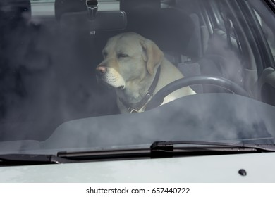 A yellow Labrador dog sits in a hot car in Finland. It's a sunny day.