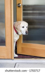 yellow labrador dog waiting at the door
