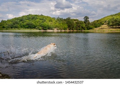 Yellow labrador is jumping in the water of Smolsko Dam in Bulgaria