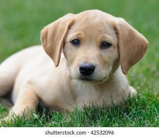 Yellow labrador puppy on lawn