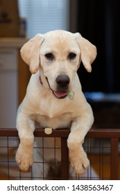 Yellow labrador puppy standing on her two paws leaning on wooden gate at home.