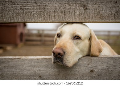 Yellow labrador retriever behind wooden fence