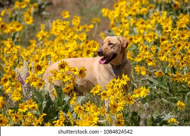 Yellow labrador retriever in the Boise foothills
