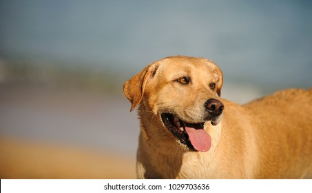 Yellow Labrador Retriever dog outdoor portrait at beach