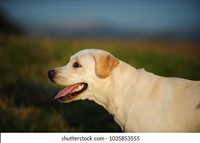 Yellow Labrador Retriever dog outdoor portrait
