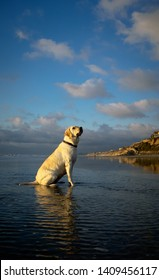 Yellow Labrador Retriever dog sitting on beach with blue sky and clouds