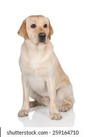 yellow labrador retriever dog sitting on white