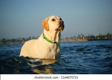 Yellow Labrador Retriever dog standing in blue water