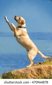 Yellow labrador retriever dog standing on hind legs near the blue sea