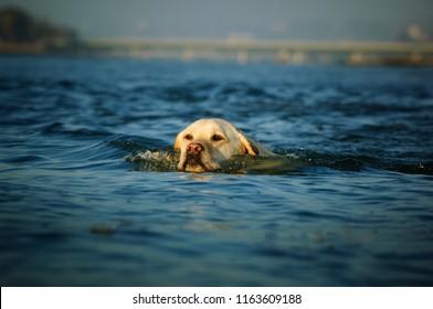 Yellow Labrador Retriever dog swimming in blue water