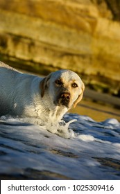 Yellow Labrador Retriever dog wading out in ocean water
