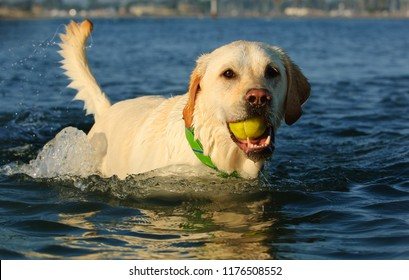Yellow Labrador Retriever dog in water with ball