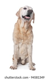 Yellow Labrador Retriever in front of a white background