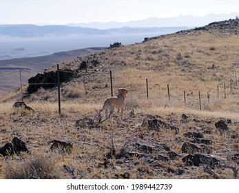 Yellow Labrador retriever hunting dog pointing at a bird on a barbwire fence in the rugged Northern Nevada desert landscape.
