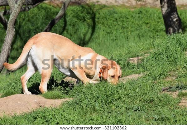 A yellow Labrador retriever hunts for squirrels.