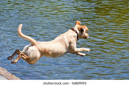 Yellow Labrador Retriever jumping into the water at a dog park on a sunny summer day.