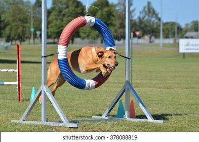 Yellow Labrador Retriever Jumping Through a Tire at Dog Agility Trial
