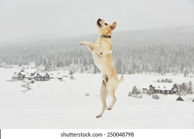 Yellow labrador retriever is jumping in wintry landscape