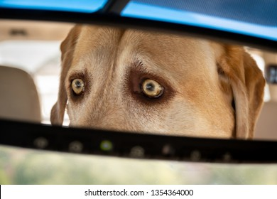 A yellow Labrador Retriever (Lab) with wide eyes concentrates intently on the road conditions ahead, as viewed in the rear view mirror of her car.