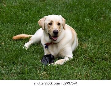 Yellow Labrador Retriever laying in the grass.