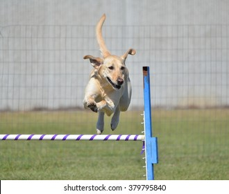 Yellow Labrador Retriever Leaping Over a Jump at Dog Agility Trial