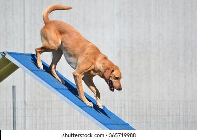 Yellow Labrador Retriever on an A-frame at Dog Agility Trial