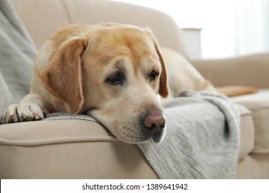 Yellow labrador retriever on cozy sofa indoors