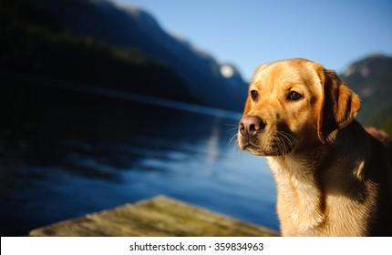 Yellow Labrador Retriever on dock with mountain background