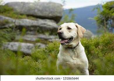 Yellow labrador retriever on mountain peak.