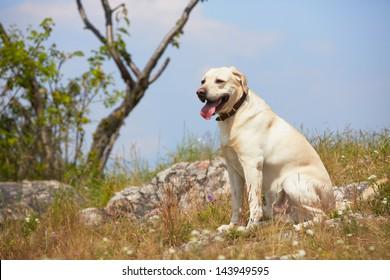 Yellow labrador retriever on the summer meadow