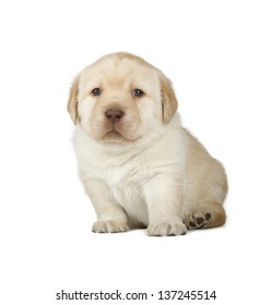 Yellow Labrador Retriever Puppy (4 week old, isolated on white background)
