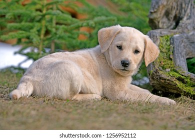 Yellow Labrador Retriever puppy lying in grass, watching