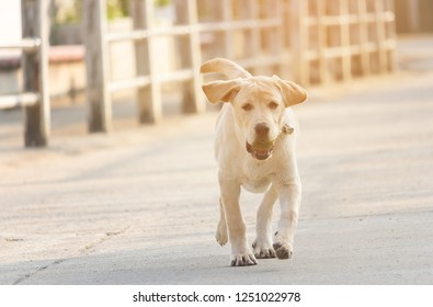 Yellow labrador retriever puppy is running on the road in the morning