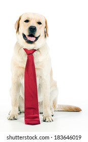 Yellow labrador retriever with red necktie sitting and looking almost directly in camera - studio shot on white background