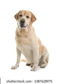 Yellow labrador retriever sitting on white background