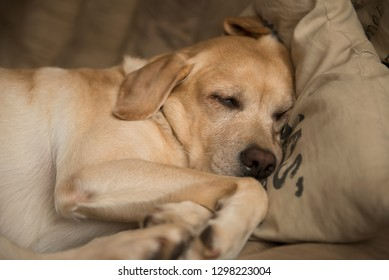 yellow Labrador retriever sleeping