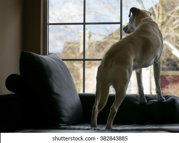 Yellow labrador retriever standing on sofa looking out the window