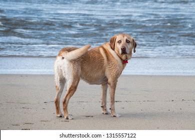 A yellow Labrador retriever stands on the beach near Carmel by the Sea, California.