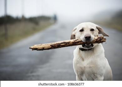 Yellow labrador retriever with stick