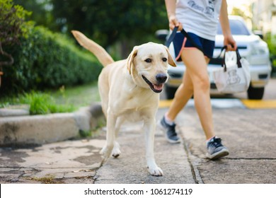Yellow Labrador Retriever walking besides owner outdoor on pavement