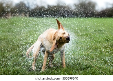 Wet Dog Shaking Images Stock Photos Vectors Shutterstock