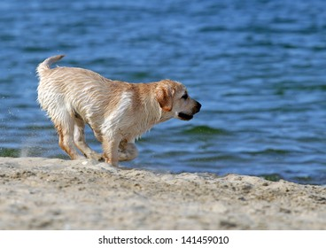 yellow labradors running at the sea in summer