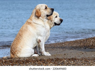 yellow labradors at the sea in summer
