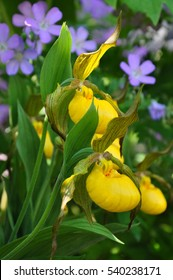 Yellow Lady Slipper Orchids, Ontario