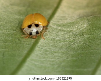 Yellow Ladybird on Leaf