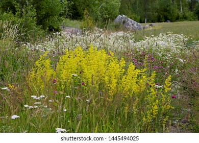 Yellow lady's bedstraw blooming with  scentless mayweed along a pathway to a cultivated field