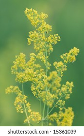 Yellow lady's bedstraw (galium verum) on green background