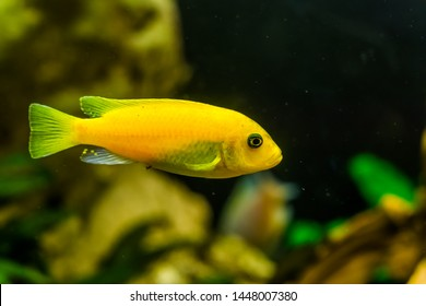 yellow lake malawi cichlid in closeup, popular aqarium pet in aquaculture, tropical fish specie from Africa